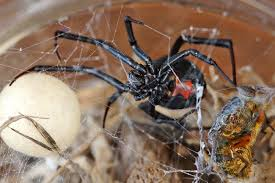Male Spider Anatomy What You Need To Know About The Redback Spider Lifehacker Australia
