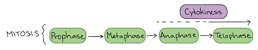 phases of mitosis the cell cycle cell division article