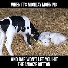 Funny Cow Memes - 4 legen dairy memes drink milk com
