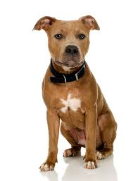 american pitbull terrier types what is a good cage size for a pit bull cuteness