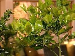 indoor decorative trees for the home growing fruit trees indoors hgtv