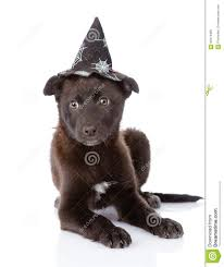 halloween background puppys black dog with witch hat for halloween on white background stock