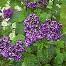 Most Fragrant Indoor Plants Fragrant Plants U0026 Bulbs White Flower Farm