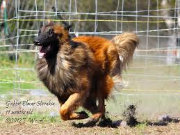 belgian sheepdog oregon intention hill belgian shepherds blackbelly sheep