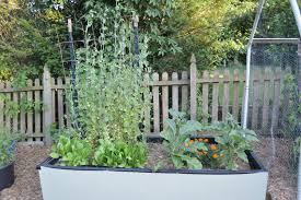 Container Gardening Peas - our suburban garden june update loving here