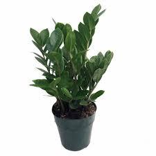 live indoor plants amazon com rare zz plant zamioculcas zamiifolia easy to grow