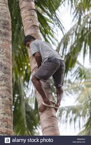 a climbing a palm tree traditional method of a loop