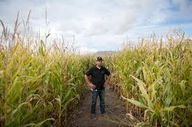 cornbelly s corn maze and pumpkin festival heraldextra