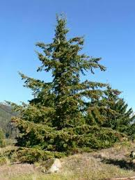 douglas fir tree douglas fir tree britannica