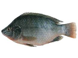 tilapia has taken an important role in the commercial fish farming