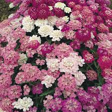 17 best candytuft images on pinterest garden ideas search and
