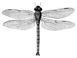 drawn dragonfly clipart pencil and in color drawn dragonfly clipart