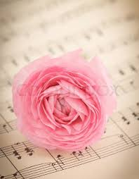soft pink ranunculus flowers book stock photo colourbox