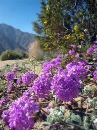 anza borrego desert flowers beauty will save viola beauty in everything