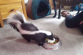 psychic sniffs out location of lost pet skunk new york news info