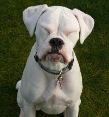 boxer dog with full tail 35 beautiful white boxer dog pictures