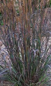 andropogon gerardii blackhawks ppaf grasses summer and gardens