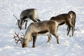 revealed rudolph really did have a red nose