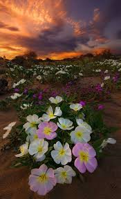 gyclli com beautiful desert flowers these beds of lovely