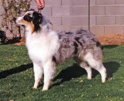 australian shepherd 6 months willie x phoebe u2013 capricorn australian shepherds