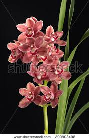 cymbidium orchids cymbidium orchid stock images royalty free images vectors