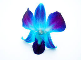 blue orchids blue orchid by heidz86 on deviantart