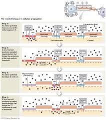 Cranial Nerves Worksheet The Nervous System Organization And Tissue