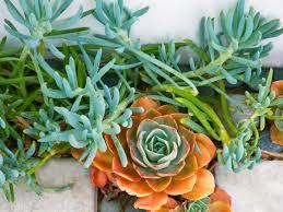Succulent Plant How To Grow Succulents Sunset