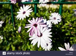 african daisy or south african daisy cape daisy and blue eyed
