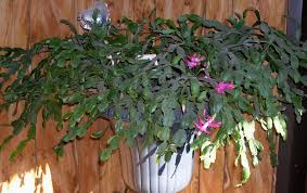 my mountain garden gleanings christmas cactus
