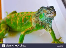 one green iguana lizard reptile sit on window stock photo