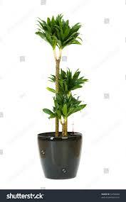 dracaena dracaena plant isolated on white background stock photo 54704038