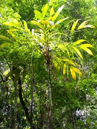Tropical Plant Biology - analysis many tropical tree species have yet to be discovered