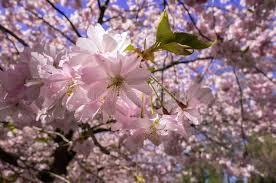 blossom tree watercolor blossom tree search