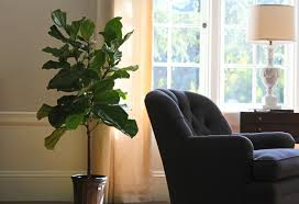 the fig and i my first fiddle leaf fig tree gardenista