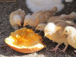 Can I Have Chickens In My Backyard by Top 5 Myths And Facts About Treats For Chickens Community Chickens
