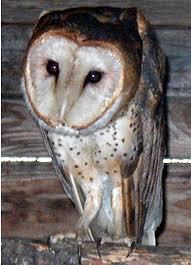 Where Does The Barn Owl Live Barn Owl Tyto Alba Animals A Z Animals