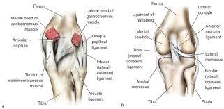 Knee Anatomy Pics Kinetic Anatomy 3e Many Ligaments Make Up Knee U0027s Structure