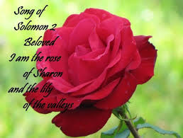 Meaning Of Pink Roses Flowers - 97 best the rose of sharon images on pinterest flowers pink