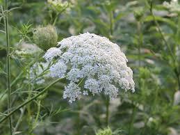 native ohio plants white wildflowers of ohio u0027s summer part 2 seasons flow