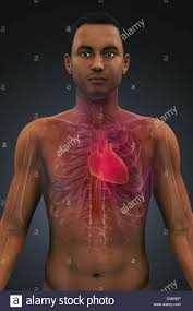 Human Body Chest Anatomy Model Showing The Structure Of Thoracic Anatomy Including The