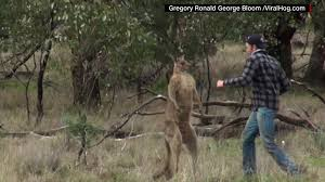 video shows man punch kangaroo to save his dog cnn video