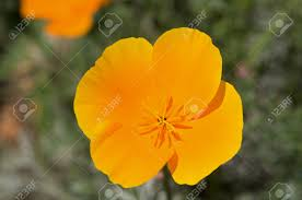 macro close up of a yellow california poppy flower stock photo