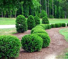decorative bushes small with berries plants for shade