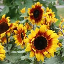 306 best sunflower images on pinterest sunflowers sunflower