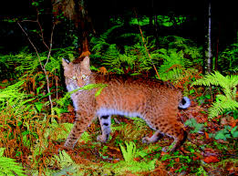 Maryland wild animals images Surprise rare animals caught on camera at quot smithsonian wild jpg