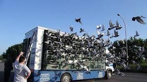 cuisine des pigeons voyageurs les pigeons voyageurs anglais ont été lâchés