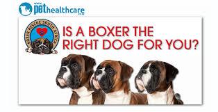rescue a boxer dog boxer rescue south africa pethealthcare co zaboxer rescue south