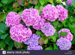 native plants names hydrangea common names hydrangea or hortensia is a genus of