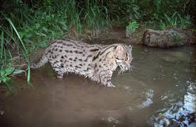 fishing cats quietly slink out of existence in southeast asia